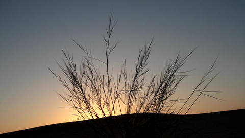 desert grasses on the top of the dune, dawn Live Action
