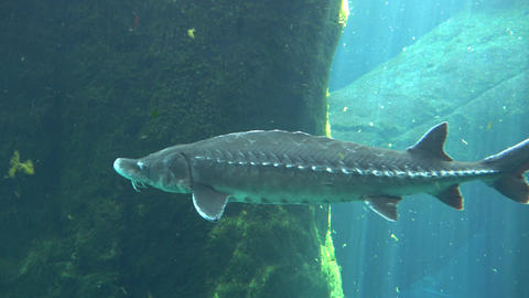Lake sturgeon also known as Acipenser fulvescens Archivo