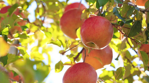 Sun's rays shine through leaves on ripe apples in orchard Footage