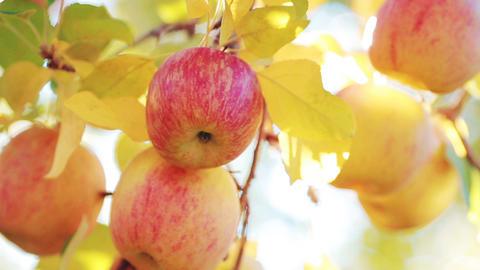 Delicious Fuji apple variety in orchard. Pan dolly shot 영상물