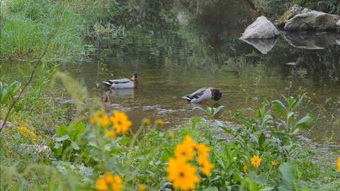 Wild Mallard Ducks In the Wild Pond Stock Video Footage