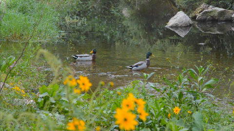 Wild Mallard Ducks In the Wild Pond Live Action