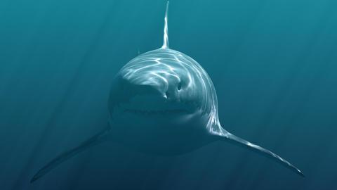 Great White Shark (Megalodon) Animation