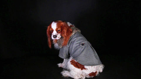 Dog wear. Winter coat. Spaniel wearing pet clothes costumes. Animal fashion Live Action