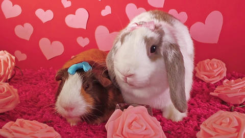 Bunny lop rabbit and cavy guinea pig together loves each other pet love Live Action
