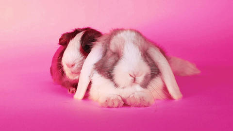 Bunny lop rabbit and cavy guinea pig together loves each other pet love Footage