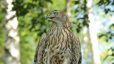goshawk stares intently Footage