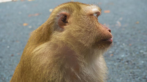 large monkey face, portrait of the primate Footage
