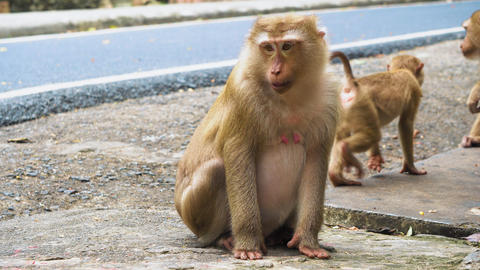 Monkey sits and stares into the camera, the family of primates Footage