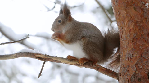 Squirrel Eats a Nut on a Pine Branch ビデオ