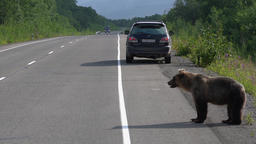 Hungry wild brown bear walking on road and begs food from people ビデオ
