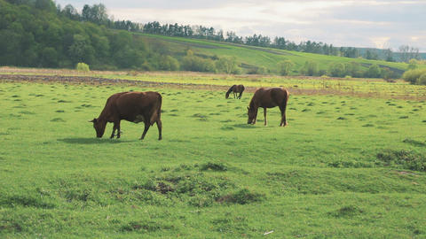 Horse and Cow Pasture Walks Footage