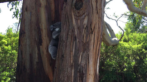 Young Koala climbing trees in Great Otway National Park Footage