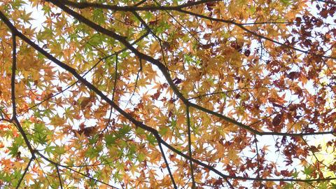 Japanese maple tree ビデオ