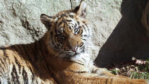 Cute sumatran tiger cub (Panthera tigris sumatrae) Live Action