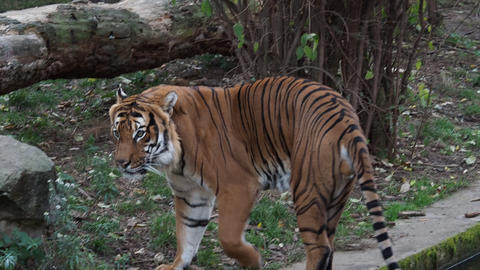 Malayan tiger (Panthera tigris jacksoni) Stock Video Footage