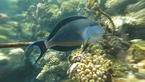 Underwater Life In The Ocean Sohal Surgeonfish Footage