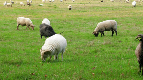 Well-fed sheep and goats on the lush meadows ビデオ