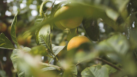 Orange mandarins ripen on a tree branch. Close up shot through green leaves GIF