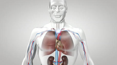 Respiratory System, Breathing Lungs With Airflow Live Action
