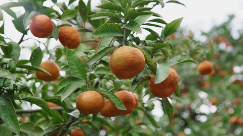 Tangerine Tree Stock Video Footage