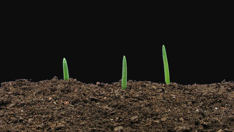 Time-lapse of growing onion sprouts with ALPHA channel GIF