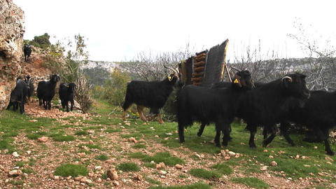 herd of black goats on trail in mountains Footage