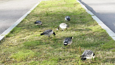 barnacle goose (Branta leucopsis) feed in the city right on the lawn Live Action