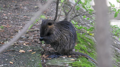 nutria (Myocastor coypus) cleans fur Live Action