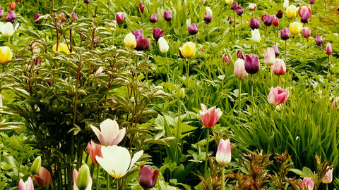 Tulips of different varieties on a picturesque flower bed Footage