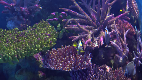Exotic Angelfish, Pomacanthidae in an aquarium, floating between colorful corals Footage