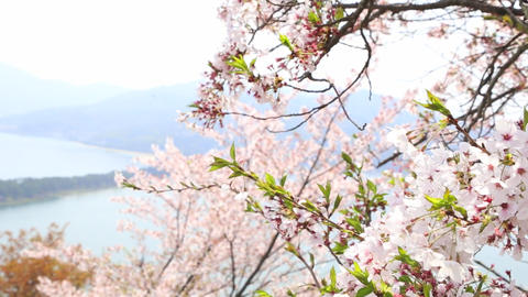 kyoto famous view with cherryblossom ライブ動画