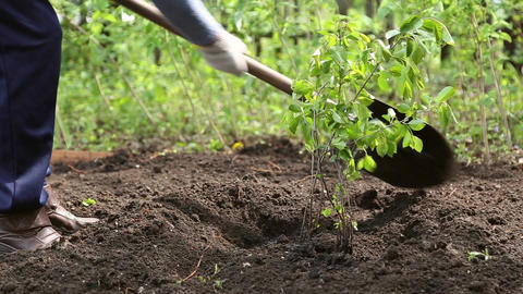 Woman planting a tree in the ground Footage