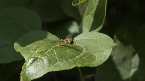 Hoverfly H264-HD1080p 02 Live Action