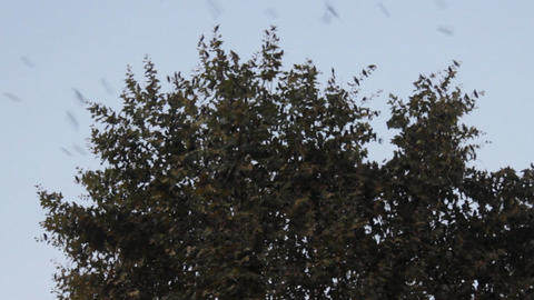 Starlings during migration and wintering grounds in Europe Footage