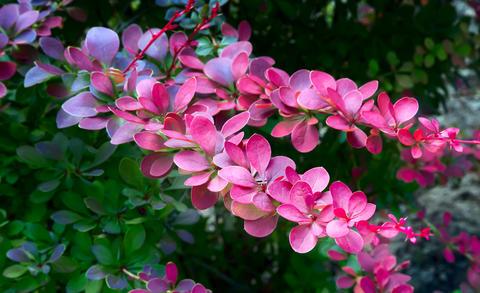 Barberry Thunberg is a beautiful ornamental shrub フォト