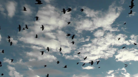 Rooks in autumn sky over harvested field. Flock migratory black birds Footage