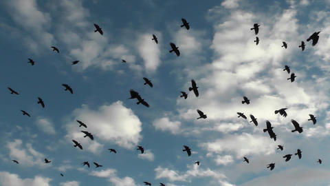 Rooks and agriculture. Flock migratory black birds feeds on harvested field ビデオ