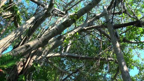 Amazing Banyan Trees on Key West Footage