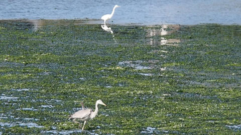 Great egret and grey heron in the lagoon Yatsu, Chiba May, 2016 Footage