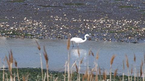Great egret in lagoon Yatsu, Chiba May, 2016 ビデオ