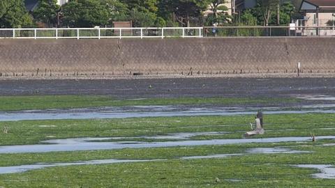 Grey heron in lagoon Yatsu, Chiba May, 2016 Footage