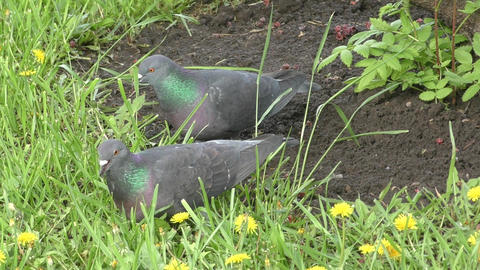 Rock dove in spring morning Footage