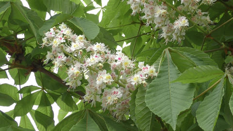 Blooming chestnut in the morning Footage