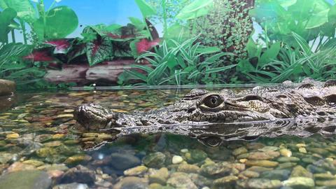 crocodile in aquarium, close up Archivo