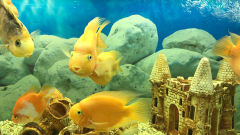 many floating yellow parrot fish ビデオ