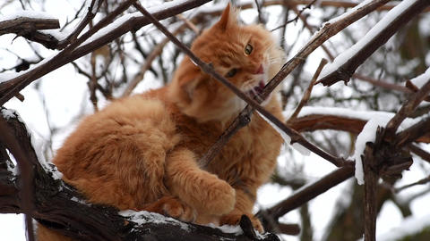 big red cat sitting on a branch on a winter day, bottom view Archivo