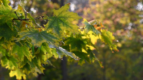 maple branch with green leaves Footage
