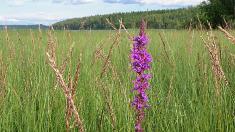 Purple loosestrife flower at flood meadow in Finland Live Action