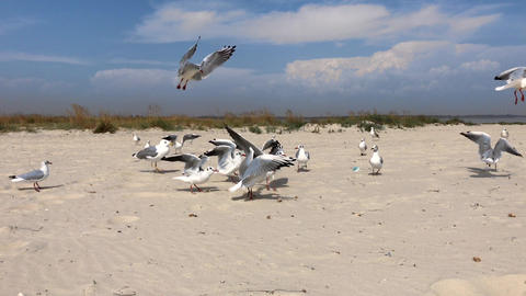 flock of marine white gulls on the sandy beach of the Black Sea Live Action